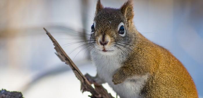 Carte postale d'un écureuil roux