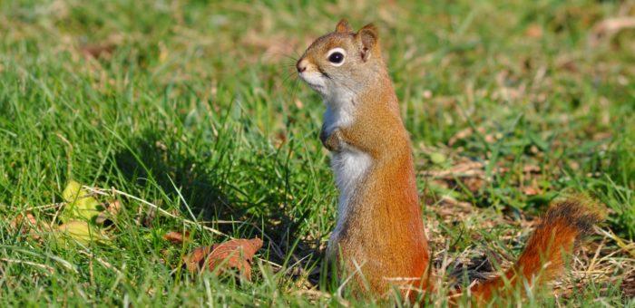 Photographie 13x18 cm d'un écureuil roux