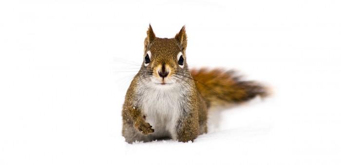 Carte postale d'un écureuil dans la neige