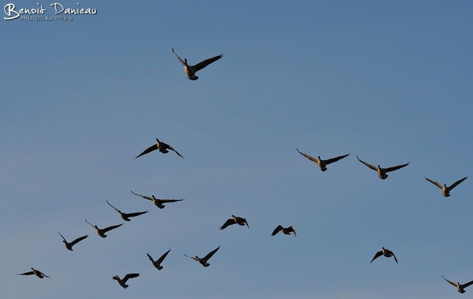 Migration de Bernaches du Canada