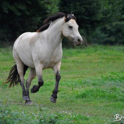 Carte postale d'un poney connemara