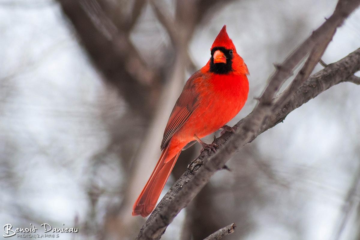 Image gallery oiseaux du canada for Photo oiseau