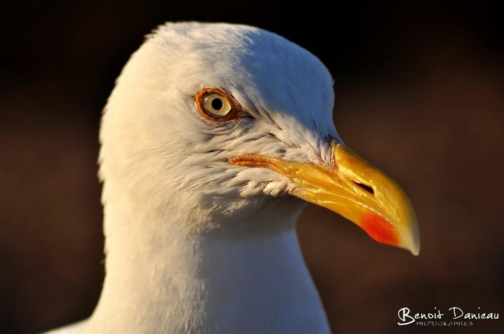 portrait d'un goéland argenté