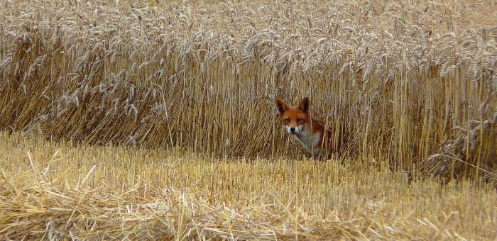 Cartes postales d'un renard (10)