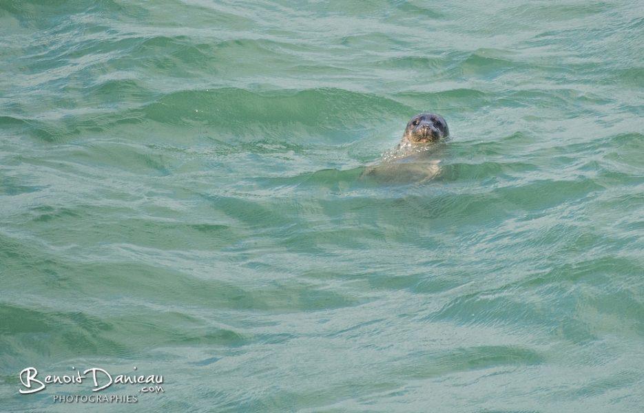 phoque belle ile en mer