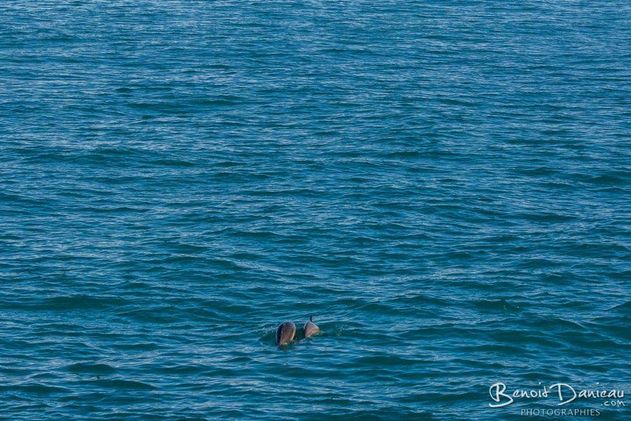 dauphin et bébé dauphin perros guirec