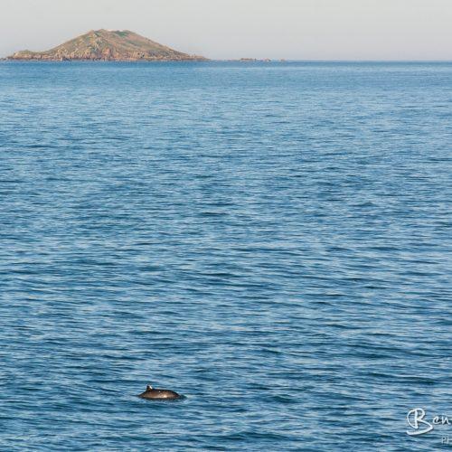 Dauphins au large de Perros Guirec