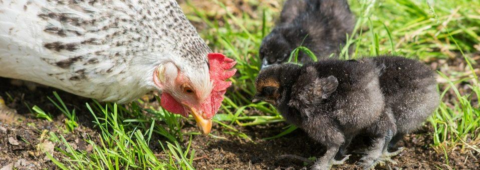 La couvaison chez la poule